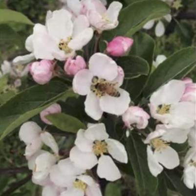 omenapuunkukka